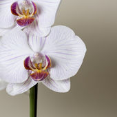 Pink orchid flower spa white flora flower gift cosmetics room decoration flower valentine — Stock Photo