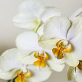Yellow orchid flower spa cosmetics brown flora flower gift room decoration flower valentine — Stock Photo