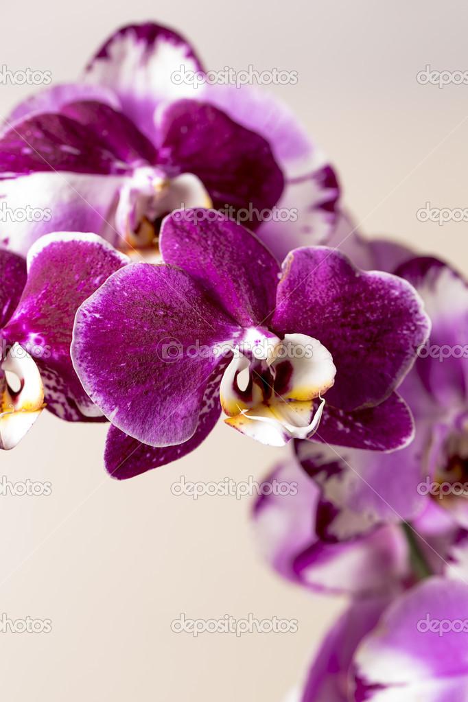 Roze orchideebloem flora cosmetica spa kamer bloem decoratie bloem valentijn cadeau stockfoto - Decoratie roze kamer ...