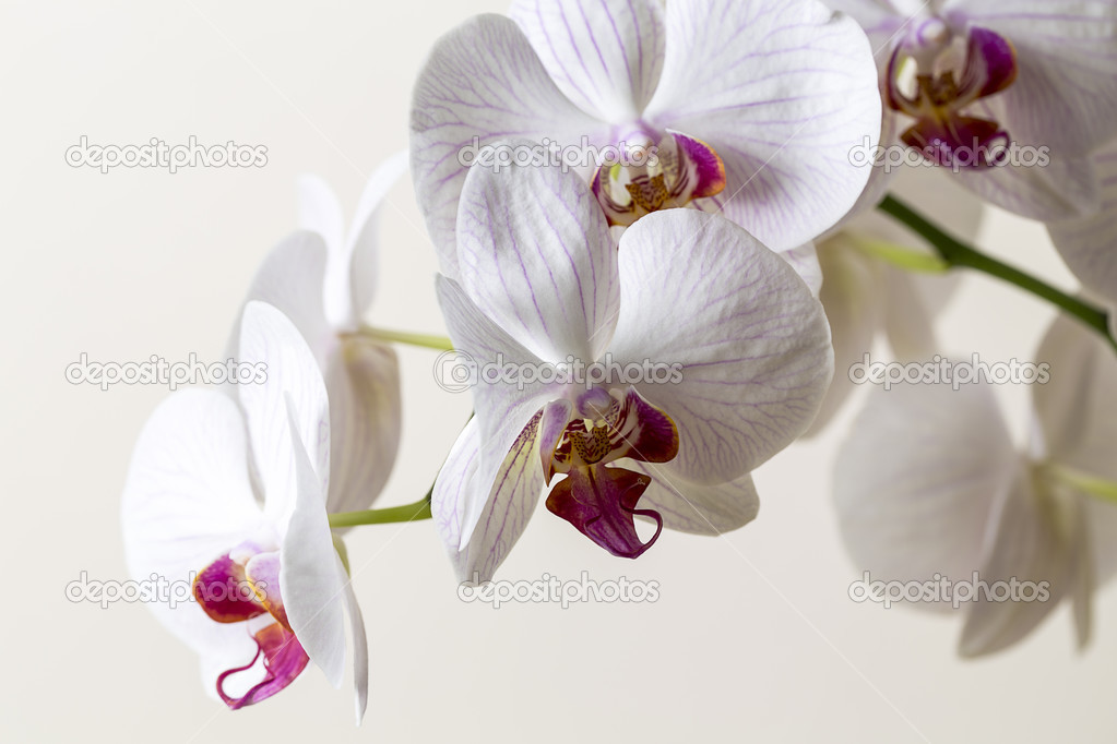 White And Pink Orchid Flowers Pink Orchid Flower in White on