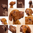 Hungarian Vizsla Magyar set collage hunting dog breed Pointers hunter pet weimaraner dog house — Stock Photo