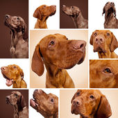 Hungarian Vizsla Magyar set collage hunting dog breed Pointers hunter pet weimaraner dog house — Stock Photo