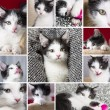 Baby cats collage set play house cat pet kitty kitty looking tongue whisker faithful — Stock Photo #33226057