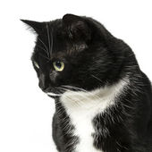 Cat isolated black exempted domestic cat pet kitty kitty meow looking whisker faithful — Stock Photo