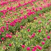 Tulip field bud holland flower valentine flower gardening love east europe mothers — Fotografia Stock
