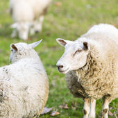 Sheep wool sheep lamb farming herd pasture mutton farm animal farm — Foto Stock