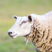 Sheep wool sheep close-up lamb farming herd pasture mutton farm animal farm — Foto Stock
