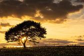 Tree sunset eifel light oak old dandelion meadow clouds hiking national park landscape — Foto de Stock