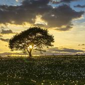 Tree sunset eifel light oak old dandelion meadow clouds hiking national park landscape — ストック写真