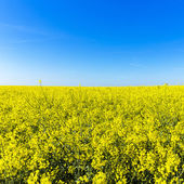 Rapefield rapeseed oil farming energy spring yellow ecologically biodiesel — Stock Photo