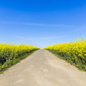 Rapefield rapeseed oil farming energief dirt track road oil spring yellow ecologically biodiesel — Stock Photo