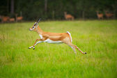 Antelope Jumping — Stock Photo