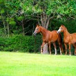 Thoroughbred Pair in Meadow — Stock Photo #14659589