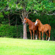 Thoroughbred Pair — Stock Photo #14659821