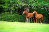 Thoroughbred Pair in Meadow — Stock Photo