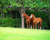 Thoroughbred Pair — Stock Photo