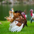 Turkeys Showing Off — Stock Photo