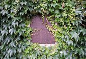 Window shutter and ivy on house wall — Stock Photo