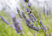 Lavender field detail — Stock Photo