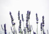 Lavender field detail copyspace — Stock Photo