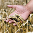 Wheat ears on the male hand. Harvest season — Stock Photo