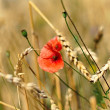 Close up view of red poppy flower and wheat ears — Stock Photo