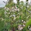 Stock Photo: Blooming apple-trees on the apple-farm field