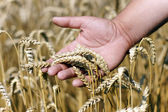 Wheat ears on the male hand. Harvest season — Stock fotografie