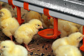 Group of young chickens in poultry farm — Stock Photo