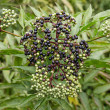 Foto Stock: Elderberry on background green leaf