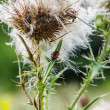 Deflorate thistle with red beetle — Stock Photo