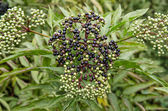 Elderberry on background green leaf — Stok fotoğraf