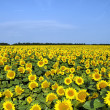 Stock Photo: Sunflower field over cloudy blue sky