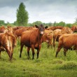 Large group of brown cows in field — Stock Photo #21737703