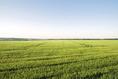 Green corn field and blue sky — Stock Photo