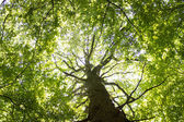 Gigantic Beech Tree — Stock Photo