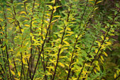 Spirea branch fall — Stock Photo