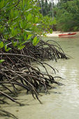 The roots of the mangrove trees — Stock fotografie