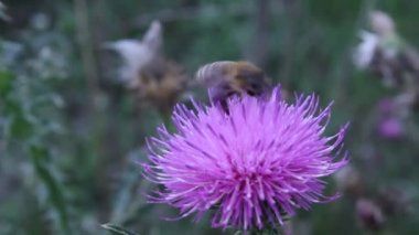 Honey bee flower nature insect apis — Stock Video