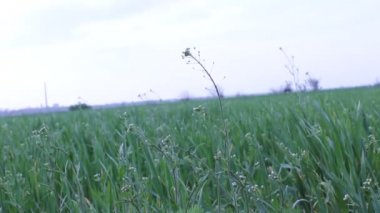 Wind in the wheat field — Stock Video