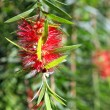 Weeping Bottlebrush — Stock Photo #13784573