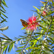 Weeping Bottlebrush — Stock Photo #13784584