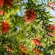 Weeping Bottlebrush — Stock Photo #13784587