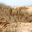 Grasses in desert — Stock Photo
