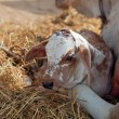 Indian calf — Stock Photo