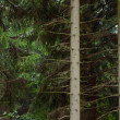 Stems of trees in forest — Stockfoto #12589374