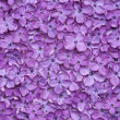Stock Photo: Violet lilac flower background
