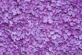 Violet lilac flower background — Stock Photo