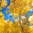 Autumn Canopy of Brilliant Yellow Aspen Tree Leafs in Fall in th — Stock Photo #47727127