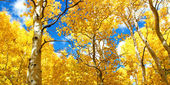 Autumn Canopy of Brilliant Yellow Aspen Tree Leafs in Fall in th — Stock Photo